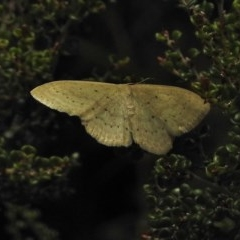 Scopula (genus) (A wave moth) at Namadgi National Park - 4 Feb 2018 by JohnBundock