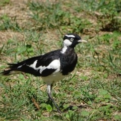 Grallina cyanoleuca (Magpie-lark) at Cotter Reserve - 29 Jan 2018 by Mike