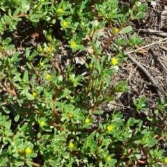 Portulaca oleracea (Pigweed, Purslane) at Stony Creek - 29 Jan 2018 by Mike