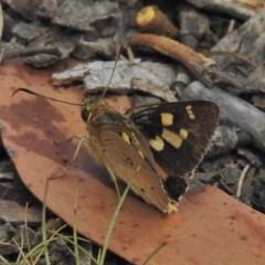 Trapezites eliena (Orange Ochre) at Namadgi National Park - 4 Feb 2018 by JohnBundock