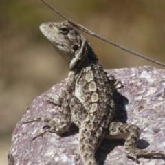 Amphibolurus muricatus (Jacky Lizard) at Booth, ACT - 4 Feb 2018 by Christine