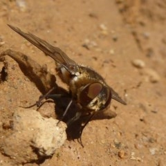 Villa sp. (genus) (Unidentified Villa bee fly) at Namadgi National Park - 4 Feb 2018 by Christine