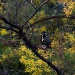 Zanda funereus (Yellow-tailed Black-Cockatoo) at Spence, ACT - 20 Aug 2014 by Watermilli