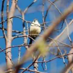 Taeniopygia bichenovii (Double-barred Finch) at Belconnen, ACT - 1 Nov 2012 by KMcCue