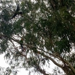 Polytelis swainsonii (Superb Parrot) at Hackett, ACT - 6 Feb 2018 by samreid007