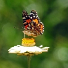 Vanessa kershawi (Australian Painted Lady) at ANBG - 5 Feb 2018 by RodDeb