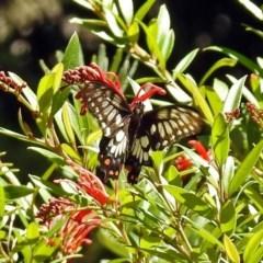 Papilio anactus at ANBG - 5 Feb 2018
