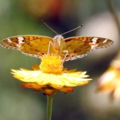Junonia villida (Meadow Argus) at ANBG - 5 Feb 2018 by RodDeb