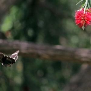 Papilio aegeus at ANBG - 5 Feb 2018