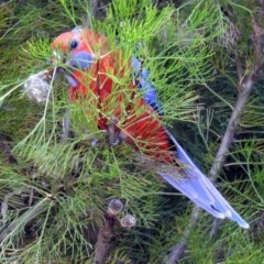 Platycercus elegans (Crimson Rosella) at ANBG - 5 Feb 2018 by RodDeb