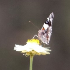Vanessa itea (Yellow Admiral) at ANBG - 5 Feb 2018 by RodDeb