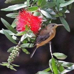 Acanthorhynchus tenuirostris (Eastern Spinebill) at ANBG - 5 Feb 2018 by RodDeb