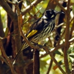 Phylidonyris novaehollandiae (New Holland Honeyeater) at ANBG - 5 Feb 2018 by RodDeb