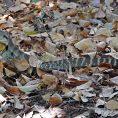 Intellagama lesueurii (Eastern Water Dragon) at ANBG - 5 Feb 2018 by RodDeb