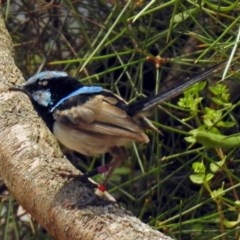 Malurus cyaneus (Superb Fairywren) at ANBG - 5 Feb 2018 by RodDeb
