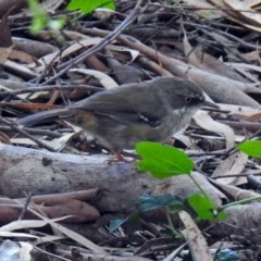 Sericornis frontalis (White-browed Scrubwren) at ANBG - 5 Feb 2018 by RodDeb