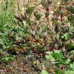 Portulaca oleracea (Pigweed, Purslane) at Pialligo, ACT - 6 Feb 2018 by RodDeb