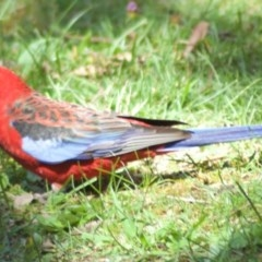 Platycercus elegans (Crimson Rosella) at ANBG - 3 Mar 2010 by KMcCue
