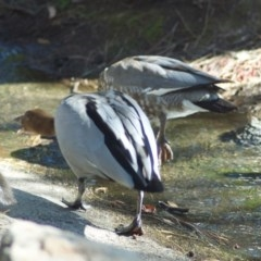 Chenonetta jubata (Australian Wood Duck) at ANBG - 2 Mar 2010 by KMcCue