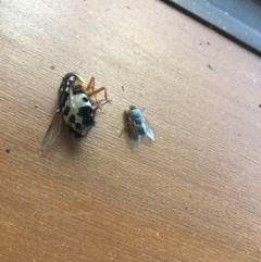 Formosia (Euamphibolia) speciosa (Bristle fly) at Nanima, NSW - 1 Feb 2018 by SheridanR