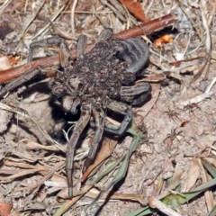 Tasmanicosa godeffroyi (Garden Wolf Spider) at Macarthur, ACT - 8 Feb 2018 by RodDeb