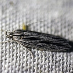 Leistarcha scitissimella (Xyloryctine Moth) at O'Connor, ACT - 8 Feb 2018 by ibaird