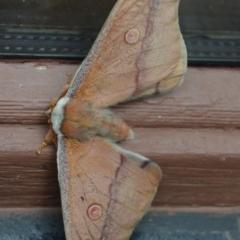 Opodiphthera helena (Helena Gum Moth) at Wamboin, NSW - 27 Oct 2016 by natureguy