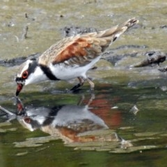 Elseyornis melanops (Black-fronted Dotterel) at Jerrabomberra Wetlands - 9 Feb 2018 by RodDeb