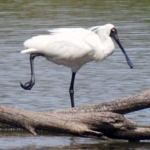 Platalea regia at Jerrabomberra Wetlands - 9 Feb 2018