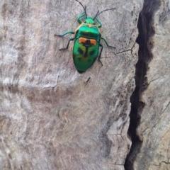 Scutiphora pedicellata (Metallic Jewel Bug) at Wamboin, NSW - 21 Jan 2018 by natureguy