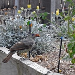Ptilonorhynchus violaceus (Satin Bowerbird) at Macarthur, ACT - 5 Feb 2018 by RodDeb