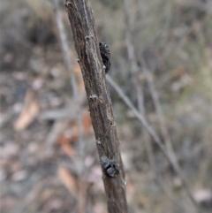 Simaetha sp. (genus) (Unidentified Brown jumper) at Aranda Bushland - 6 Feb 2018 by CathB