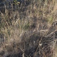 Poa sieberiana var. sieberiana (Snowgrass) at Griffith Woodland - 23 Apr 2018 by ianandlibby1