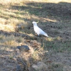 Cacatua galerita (Sulphur-crested Cockatoo) at Griffith Woodland - 11 Feb 2018 by ianandlibby1