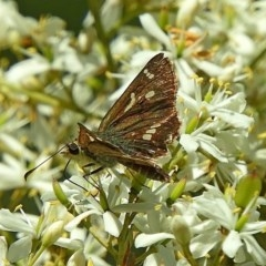 Dispar compacta (Dispar Skipper) at Brogo, NSW - 6 Feb 2018 by MaxCampbell