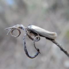 Xylorycta (genus) (A concealer moth) at Aranda Bushland - 11 Feb 2018 by CathB
