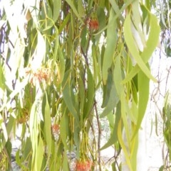 Amyema miquelii (Box Mistletoe) at Red Hill Nature Reserve - 11 Feb 2018 by JackyF