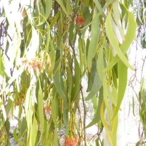 Amyema miquelii at Red Hill Nature Reserve - 12 Feb 2018