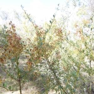 Bursaria spinosa at Red Hill Nature Reserve - 12 Feb 2018