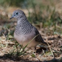 Geopelia placida (Peaceful Dove) at Jerrabomberra Wetlands - 9 Feb 2018 by Graeme