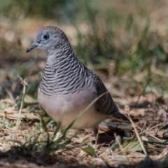 Geopelia placida (Peaceful Dove) at Jerrabomberra Wetlands - 9 Feb 2018 by Graeme