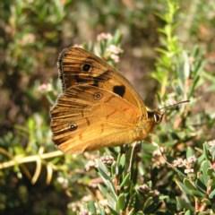 Heteronympha penelope (Shouldered Brown) at Namadgi National Park - 11 Feb 2018 by MatthewFrawley