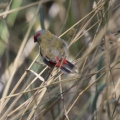 Neochmia temporalis (Red-browed Finch) at Umbagong District Park - 12 Feb 2018 by Alison Milton