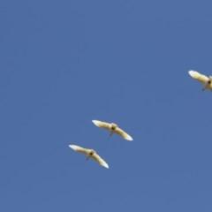 Cacatua galerita (Sulphur-crested Cockatoo) at Umbagong District Park - 12 Feb 2018 by Alison Milton