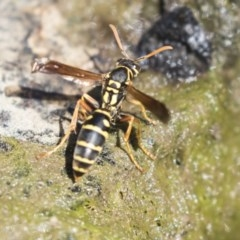 Polistes (Polistes) chinensis (Asian paper wasp) at Umbagong District Park - 12 Feb 2018 by Alison Milton