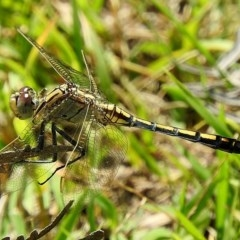 Orthetrum caledonicum (Blue Skimmer) at Brogo, NSW - 6 Feb 2018 by MaxCampbell