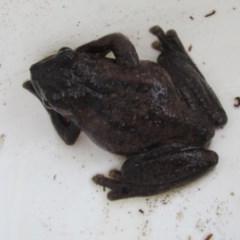 Litoria peronii (Peron's Tree-frog) at Ngunnawal, ACT - 8 Feb 2018 by GeoffRobertson