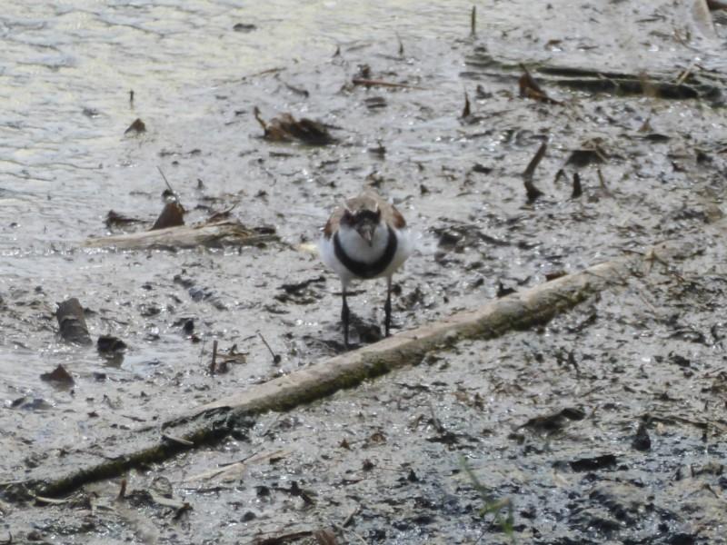 Elseyornis melanops at Jerrabomberra Wetlands - 9 Feb 2018