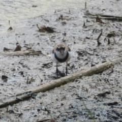 Elseyornis melanops (Black-fronted Dotterel) at Jerrabomberra Wetlands - 9 Feb 2018 by Christine
