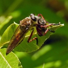 Colepia ingloria (A robber fly) at Molonglo Valley, ACT - 11 Feb 2018 by RodDeb